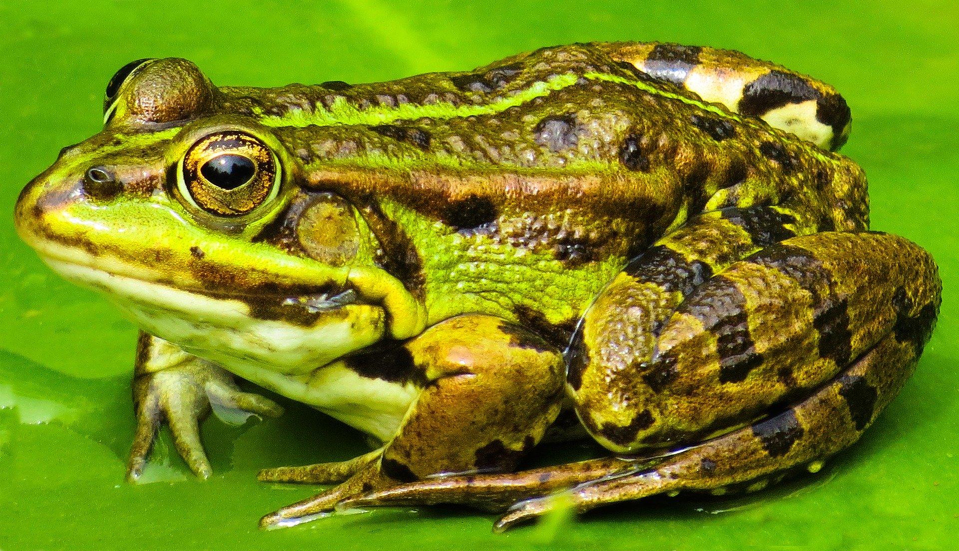La rana común se caracteriza por tener una línea dorsal en color claro que atraviesa su cuerpo.