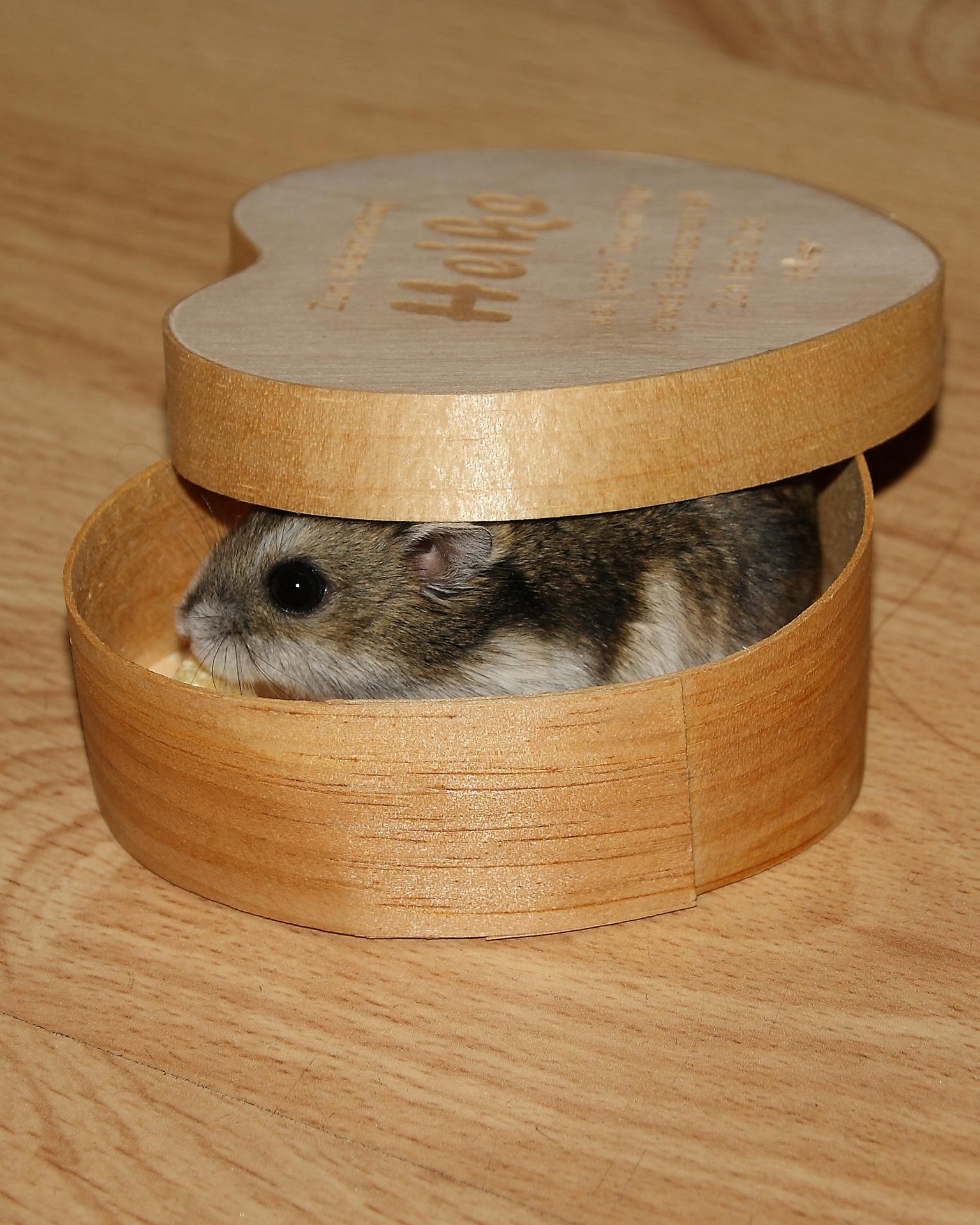 El hamster ruso es docil