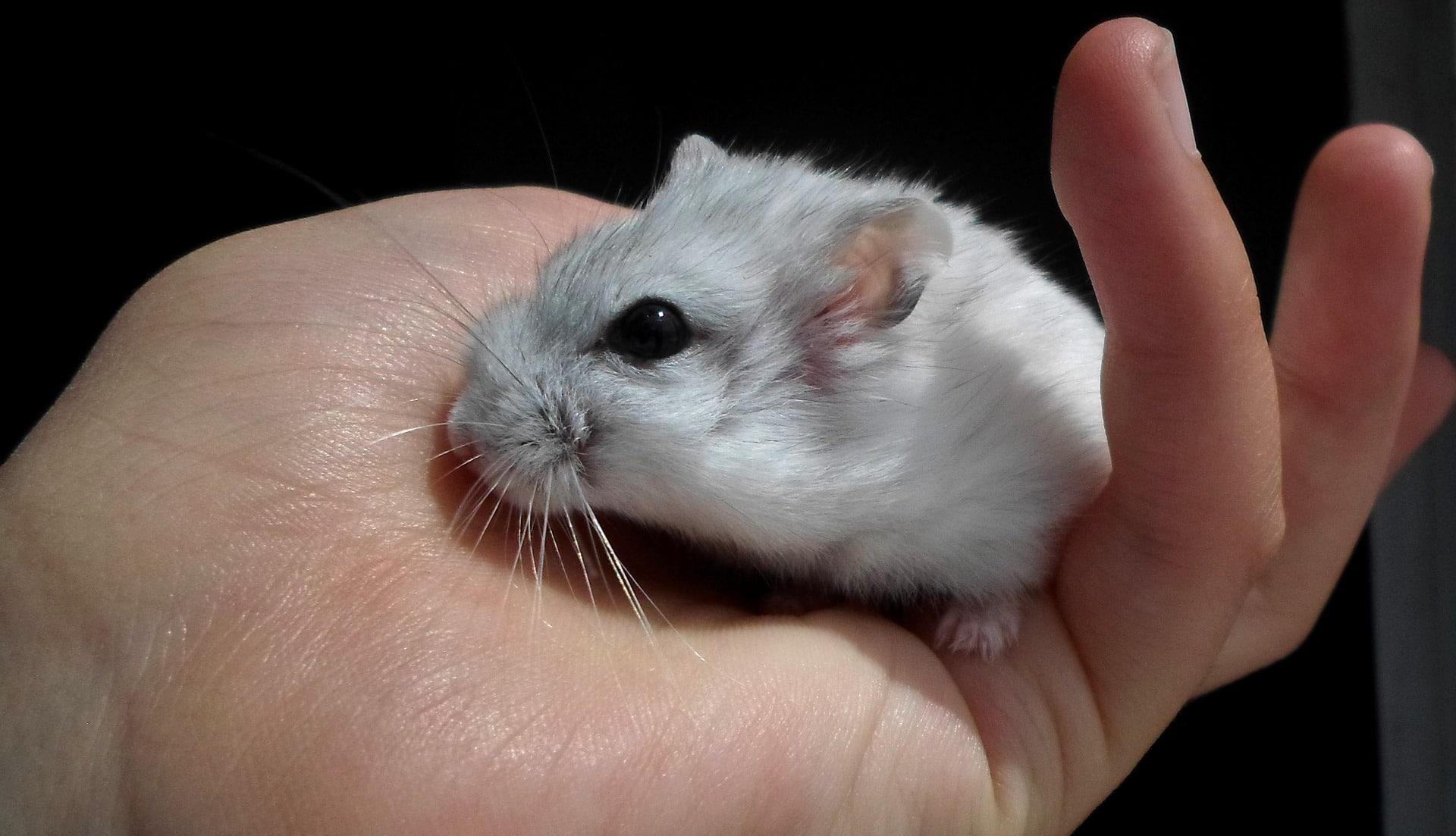El hámster ruso es uno de los roedores más pequeños