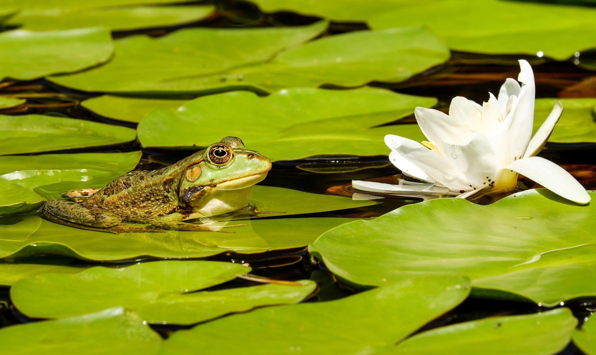 Cuidados que necesita la rana común para vivir