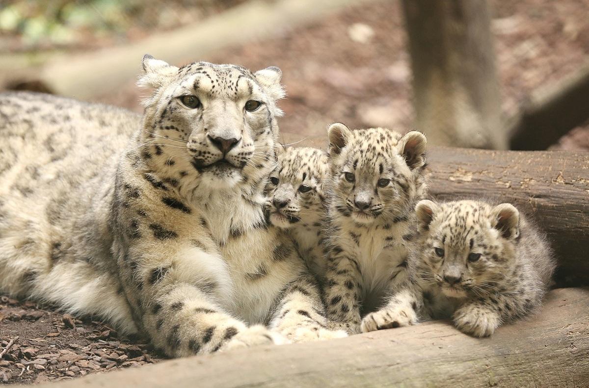 Crias de leopardo