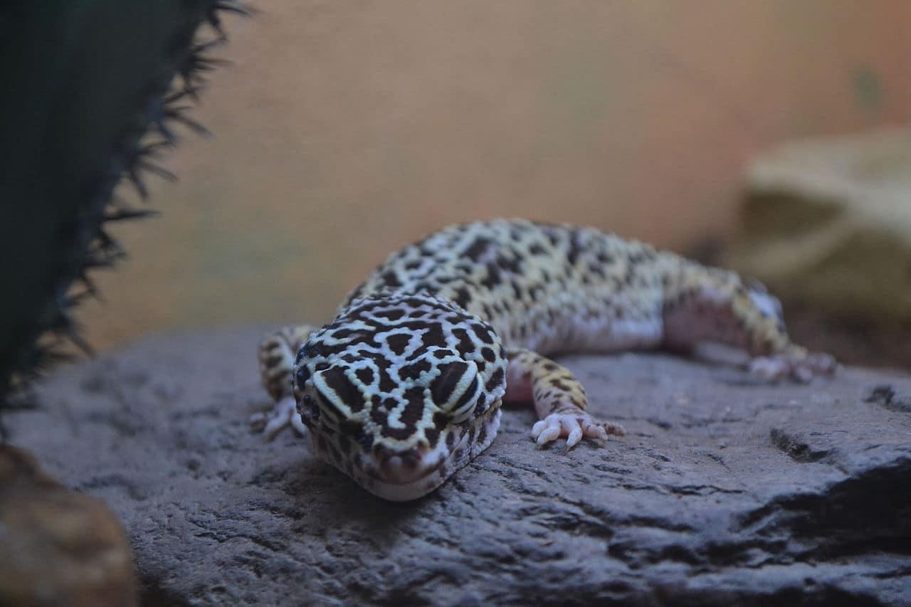 Existen varias fases de gecko leopardo que son los distintos colores que tiene