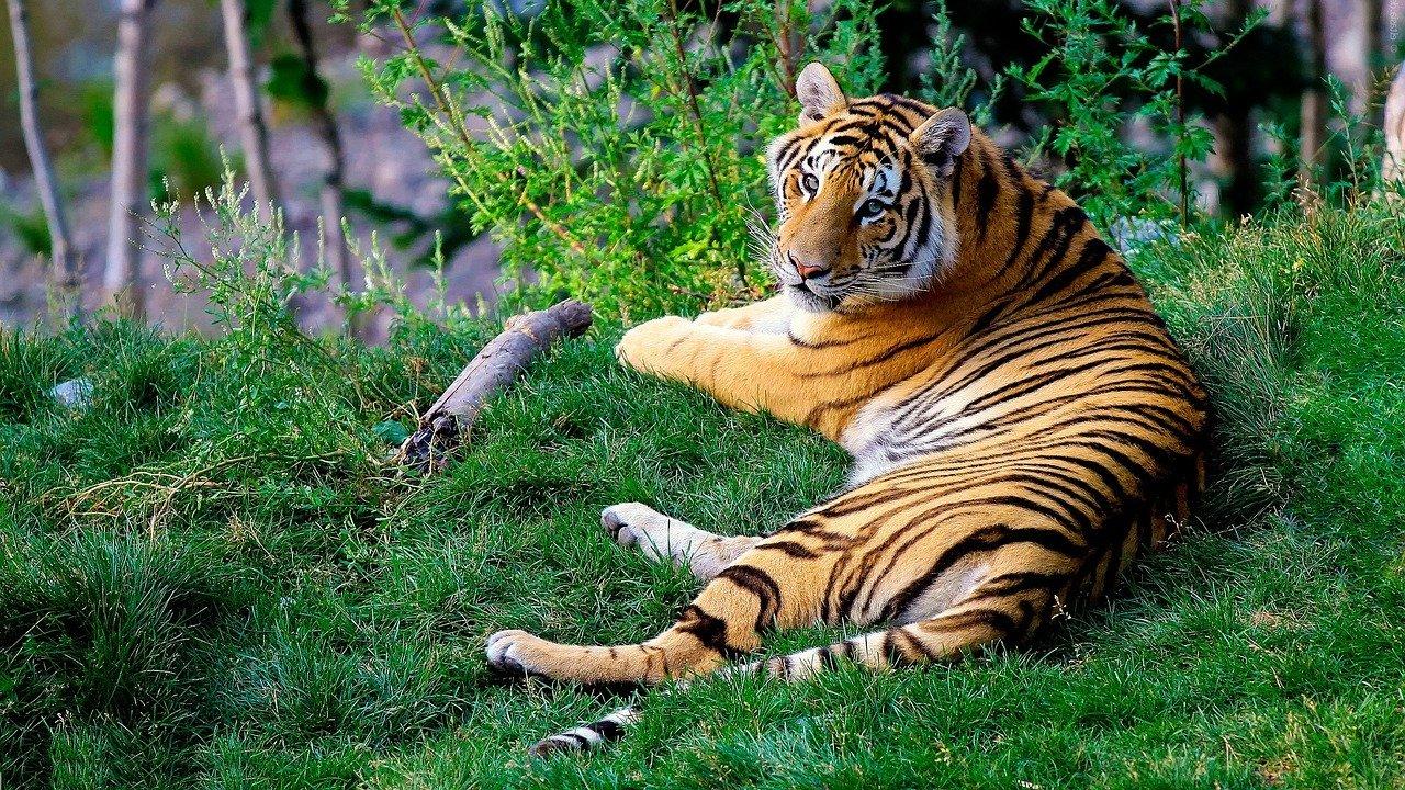 Tigre de bengala tumbado en un bosque