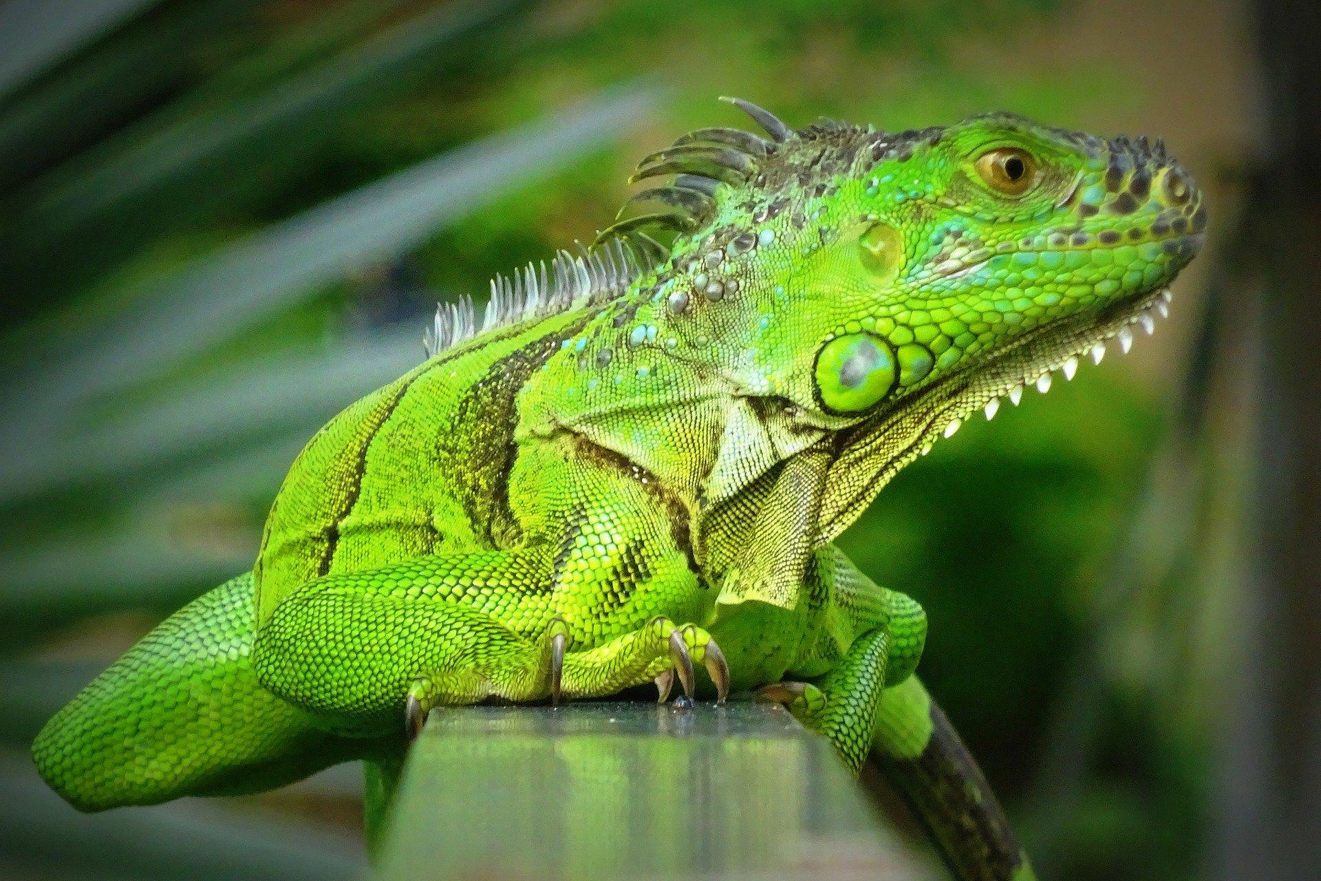 comportamiento tranquilo de la iguana verde