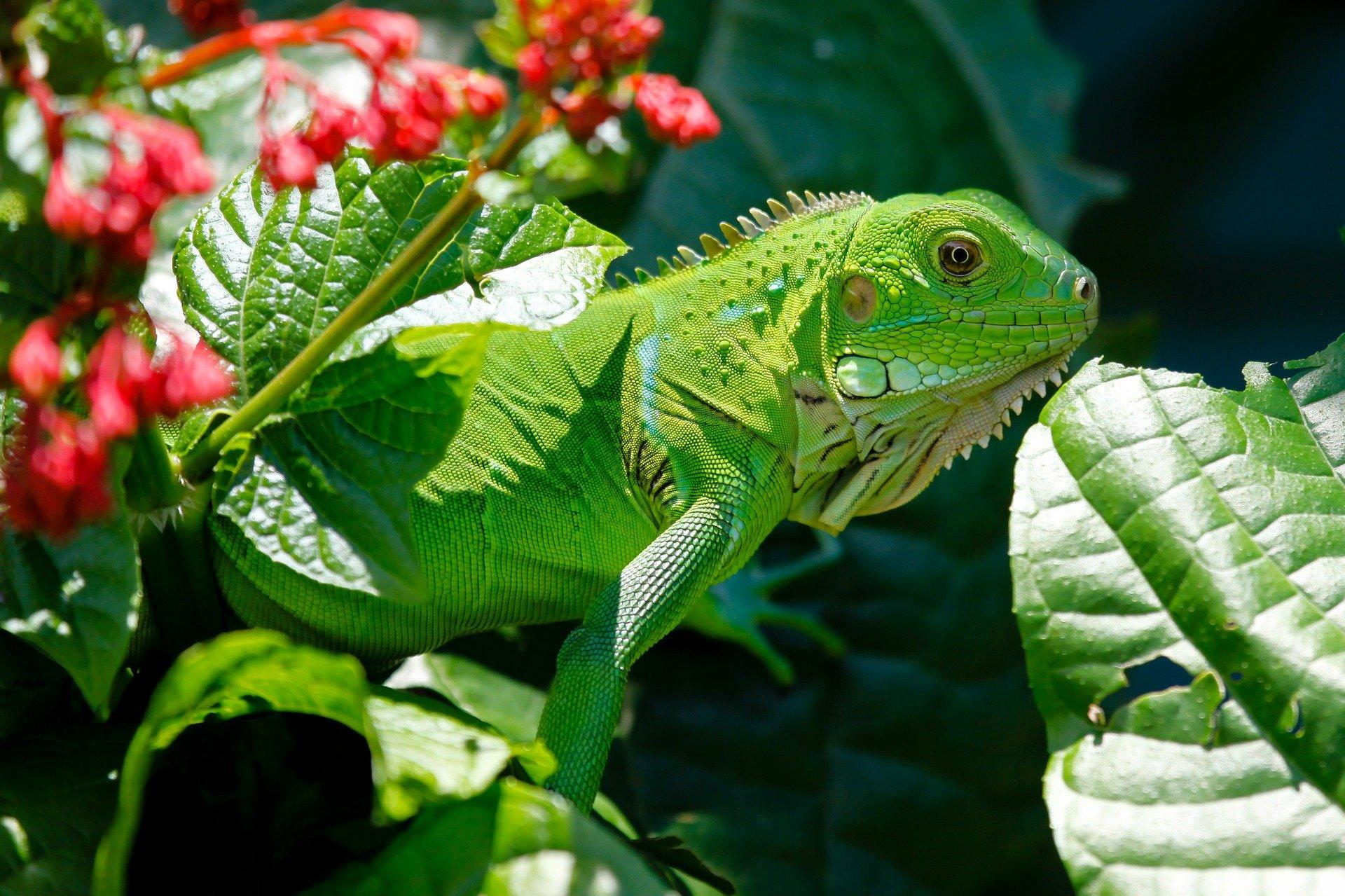 El cuidado de la iguana verde