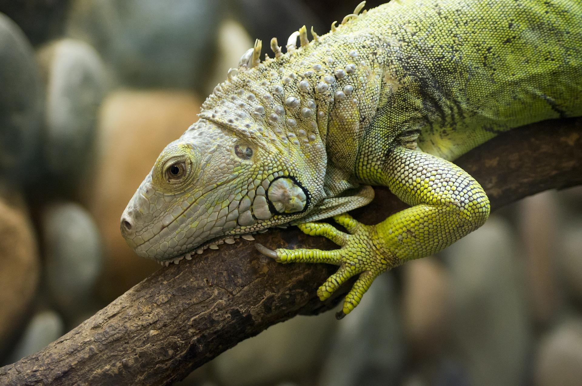 iguana verde moviéndose por una rama