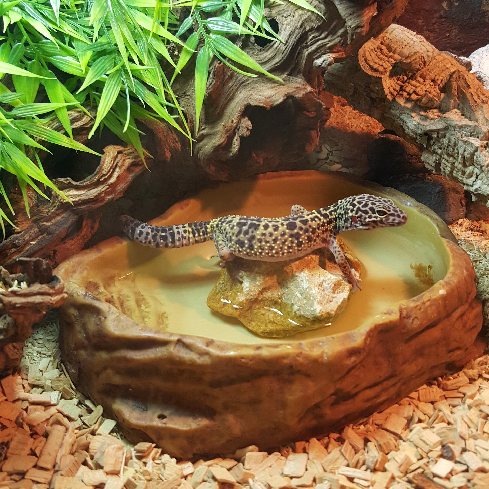 El gecko leopardo no necesita mucha agua