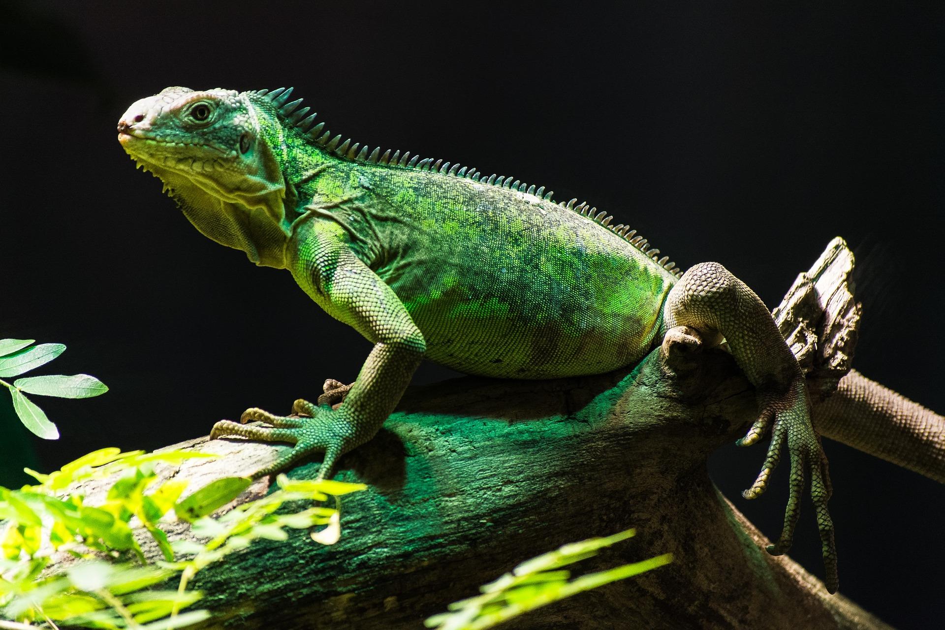 la reproducción de la iguana verde