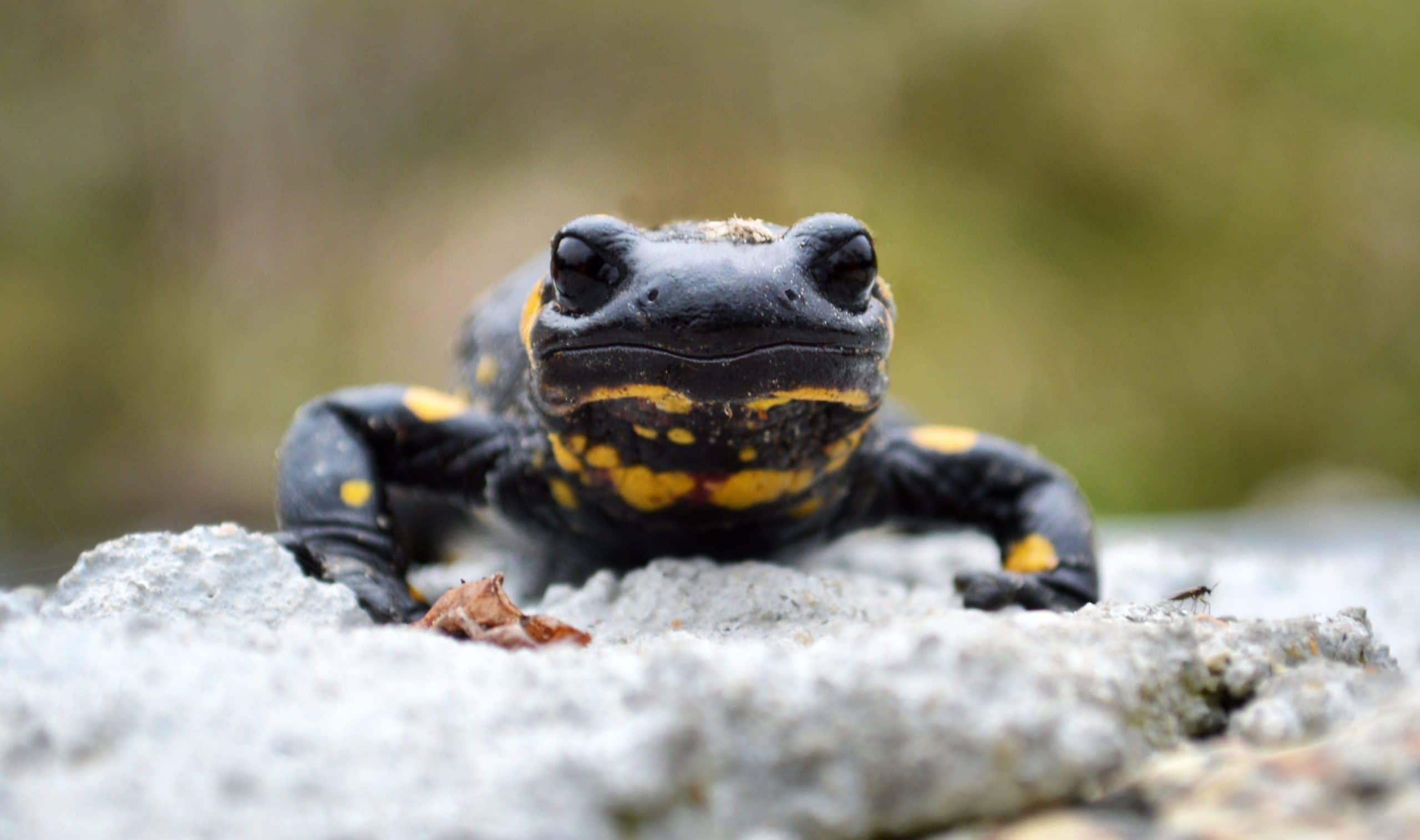 Vista frontal de la salamandra común donde se aprecia su morro redondeado