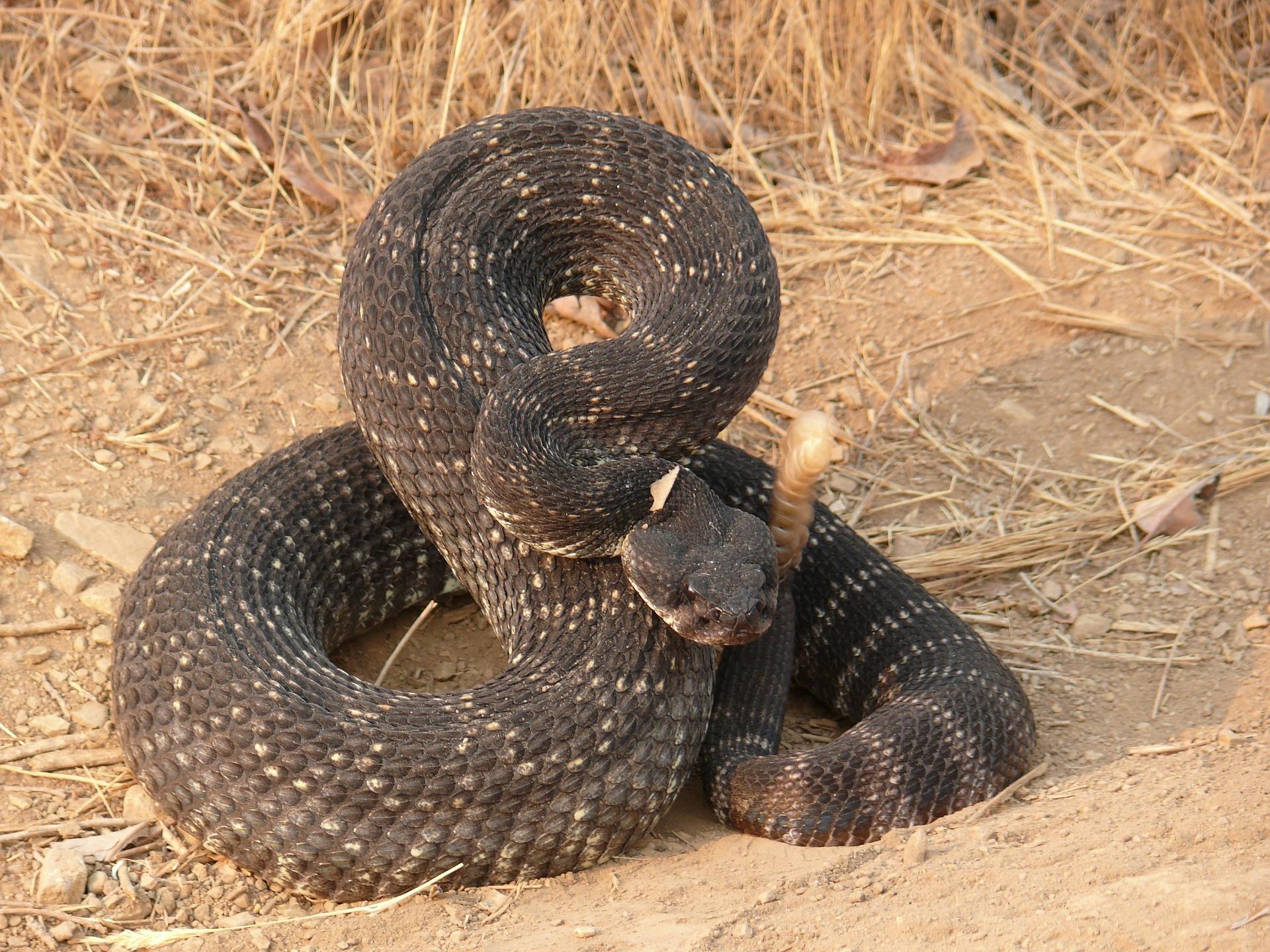 reproducción de la serpiente de cascabel