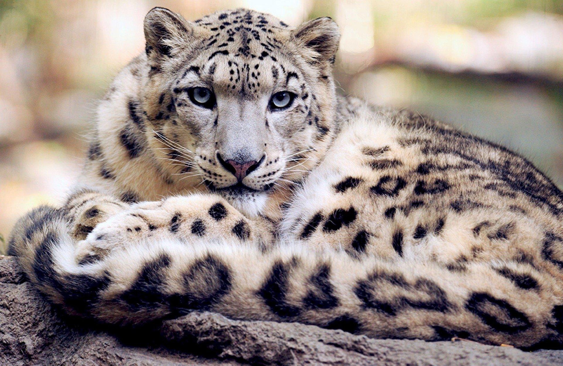 el leopardo de las nieves es capaz de atacar a animales más grandes