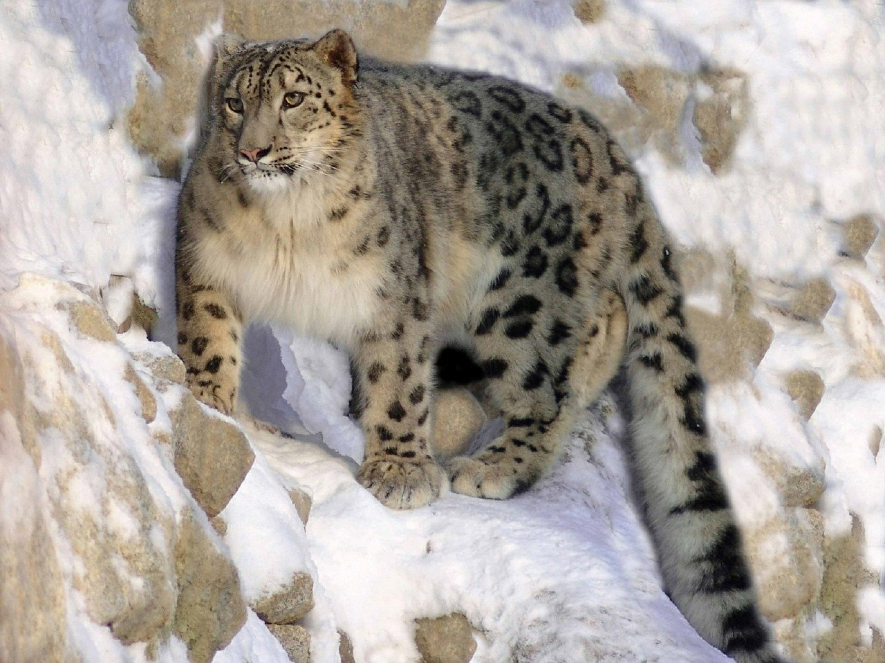 El leopardo de las nieves es un animal solitario