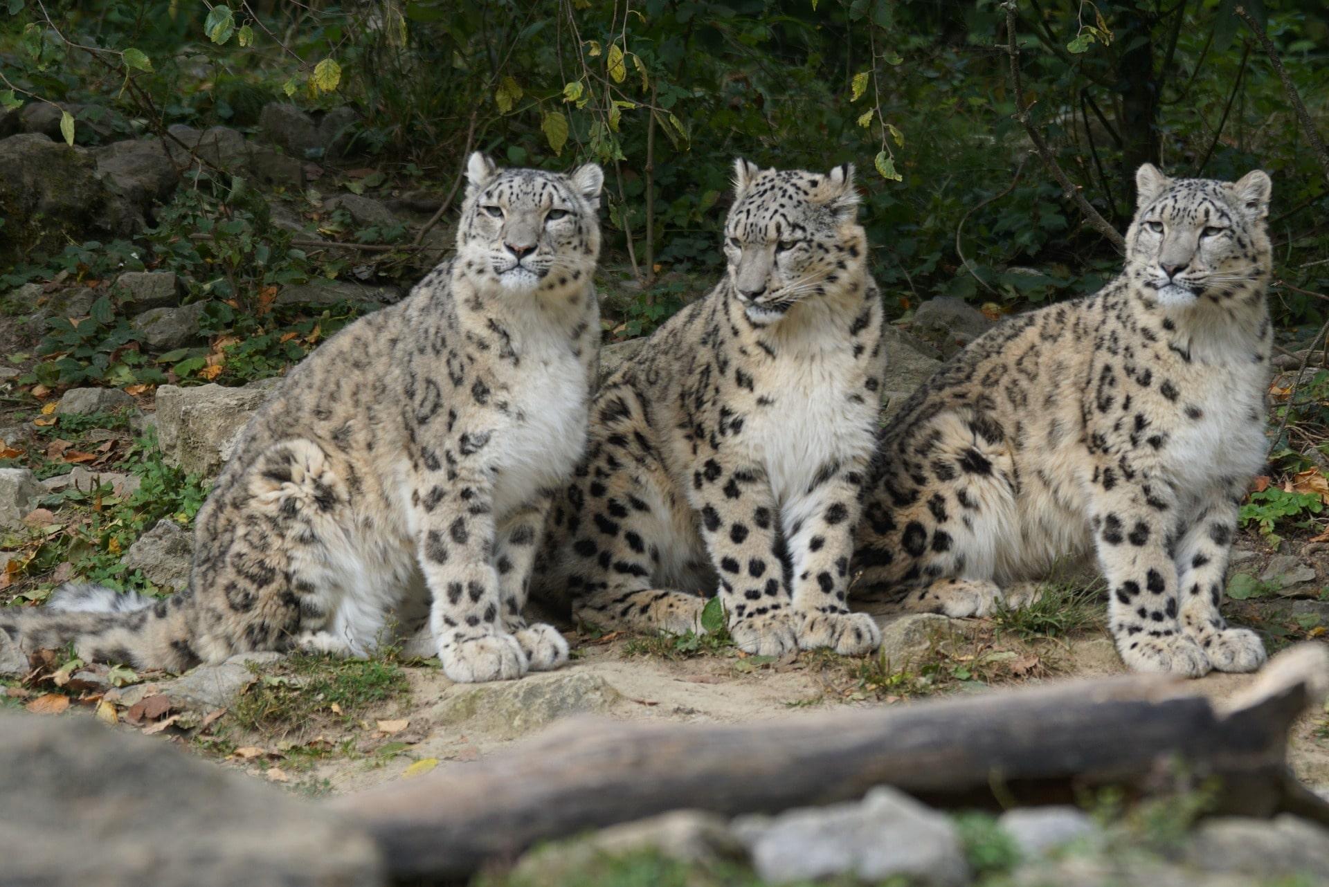 Las crías del leopardo de las nieves se quedan juntas hasta el año y medio