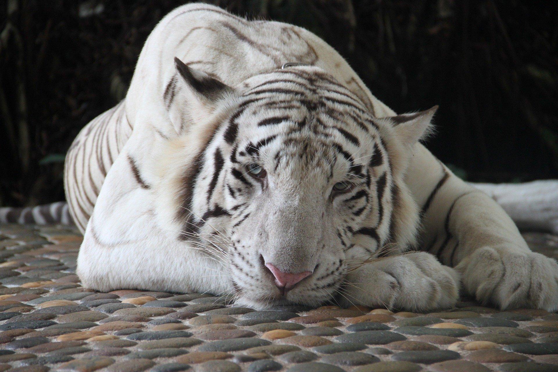 tigre blanco tumbado sobre piedra