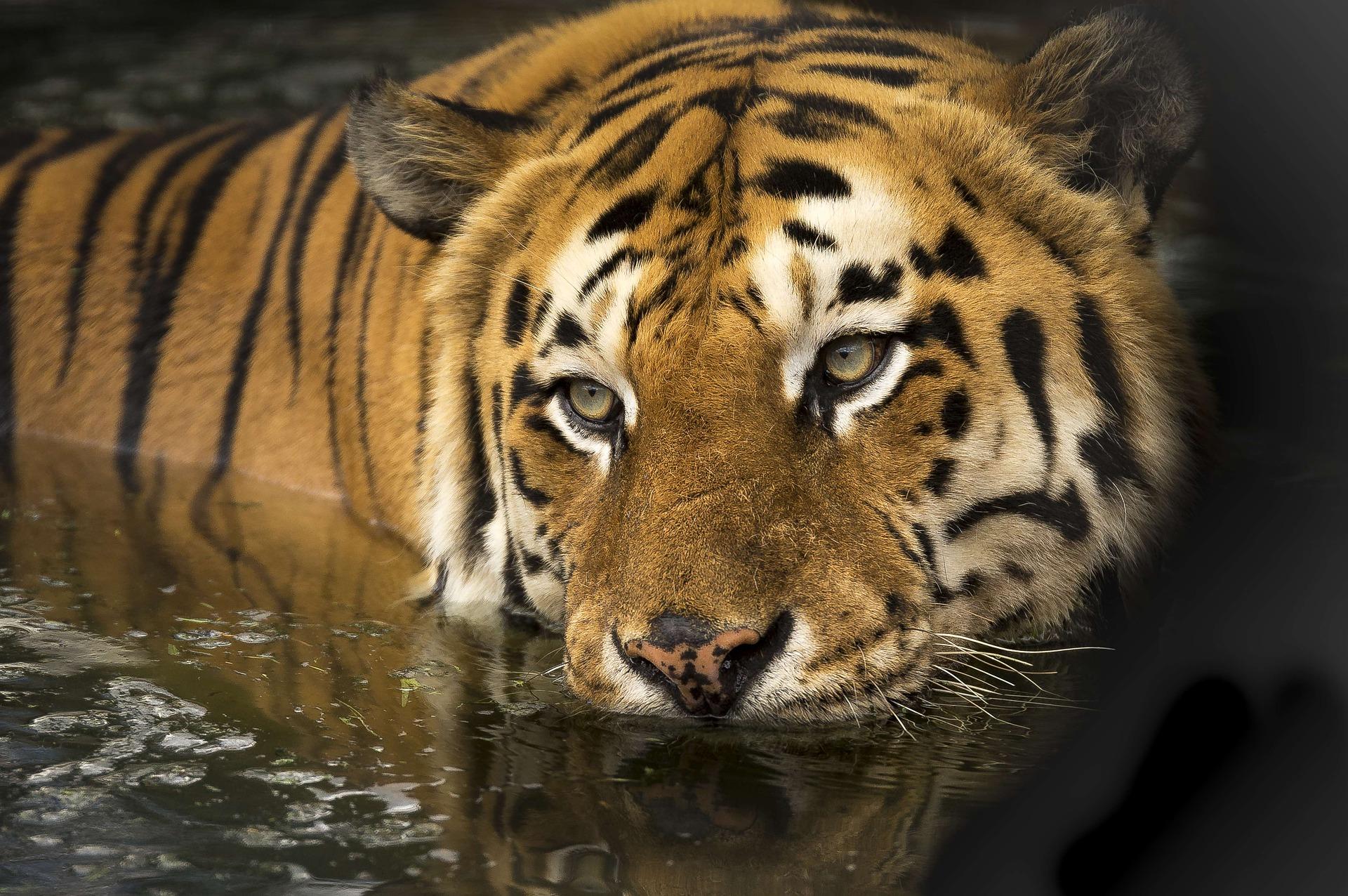 tigre de bengala en su hábitat natural
