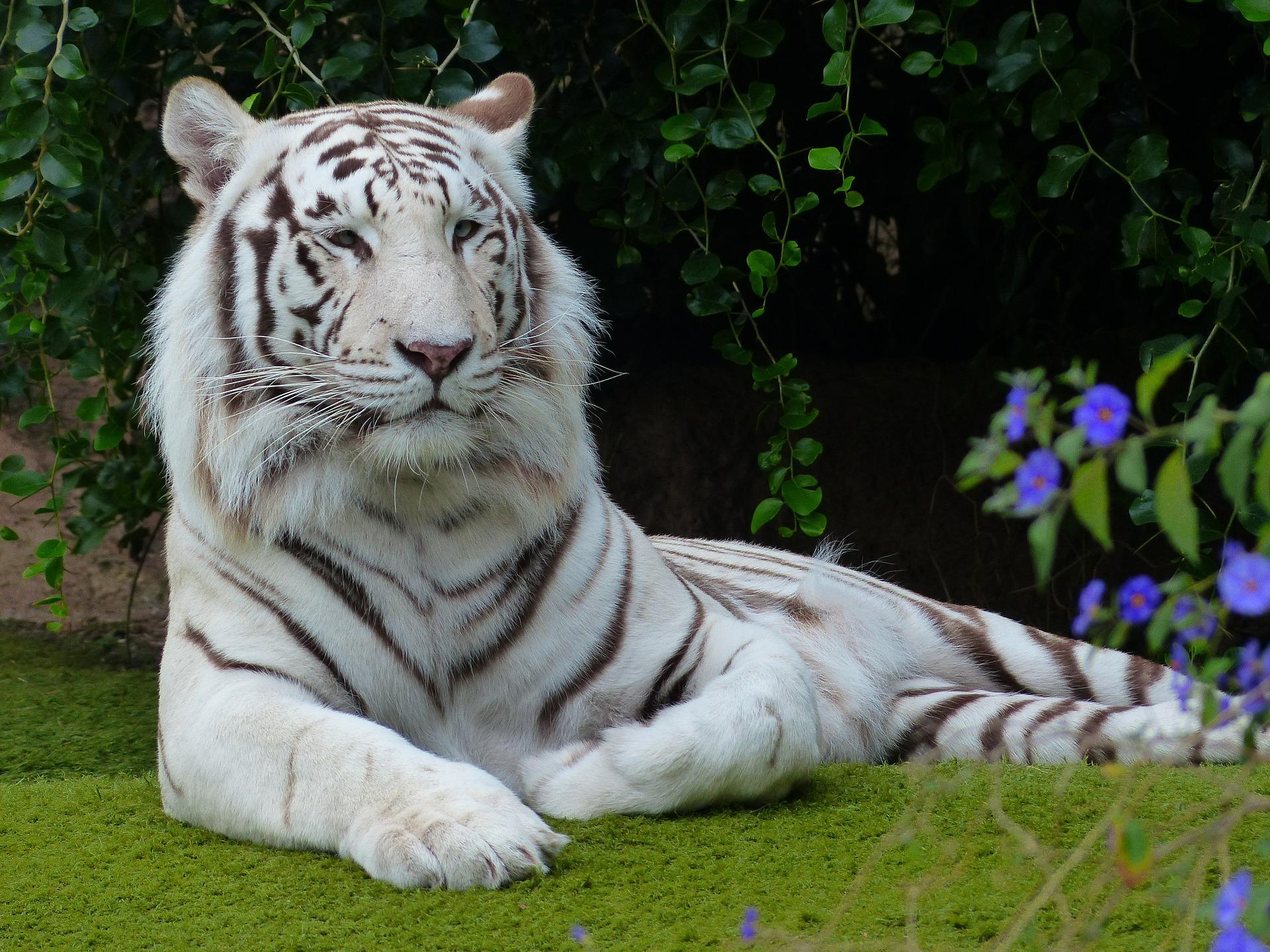 Tigre blanco con rayas negras
