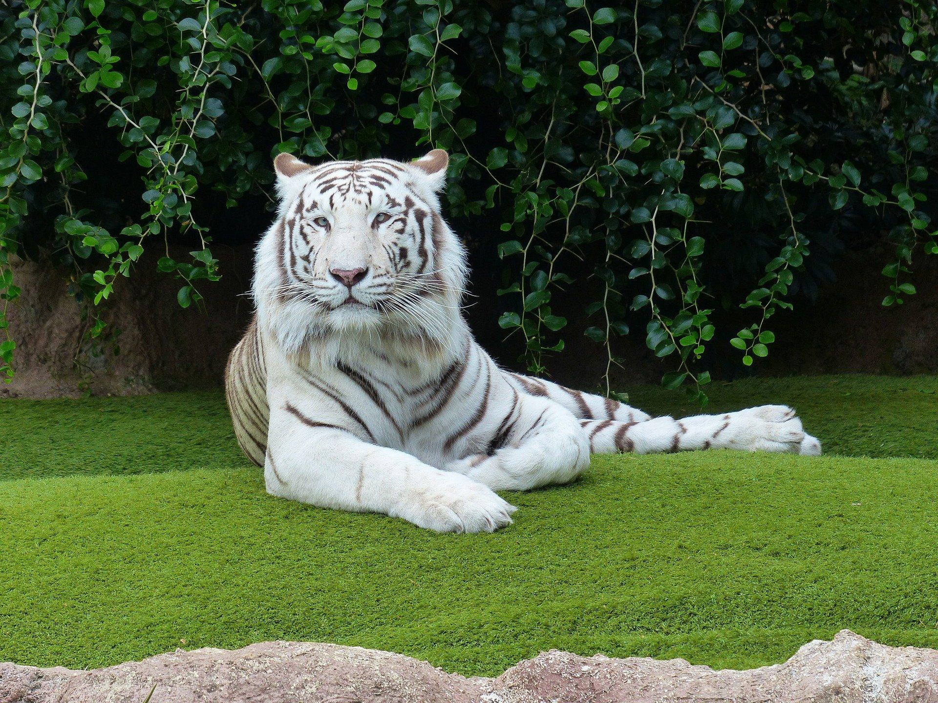 Curiosidades sobre el tigre blanco