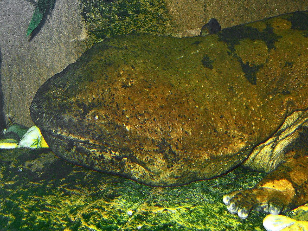 La salamandra gigante de China en peligro de extinción