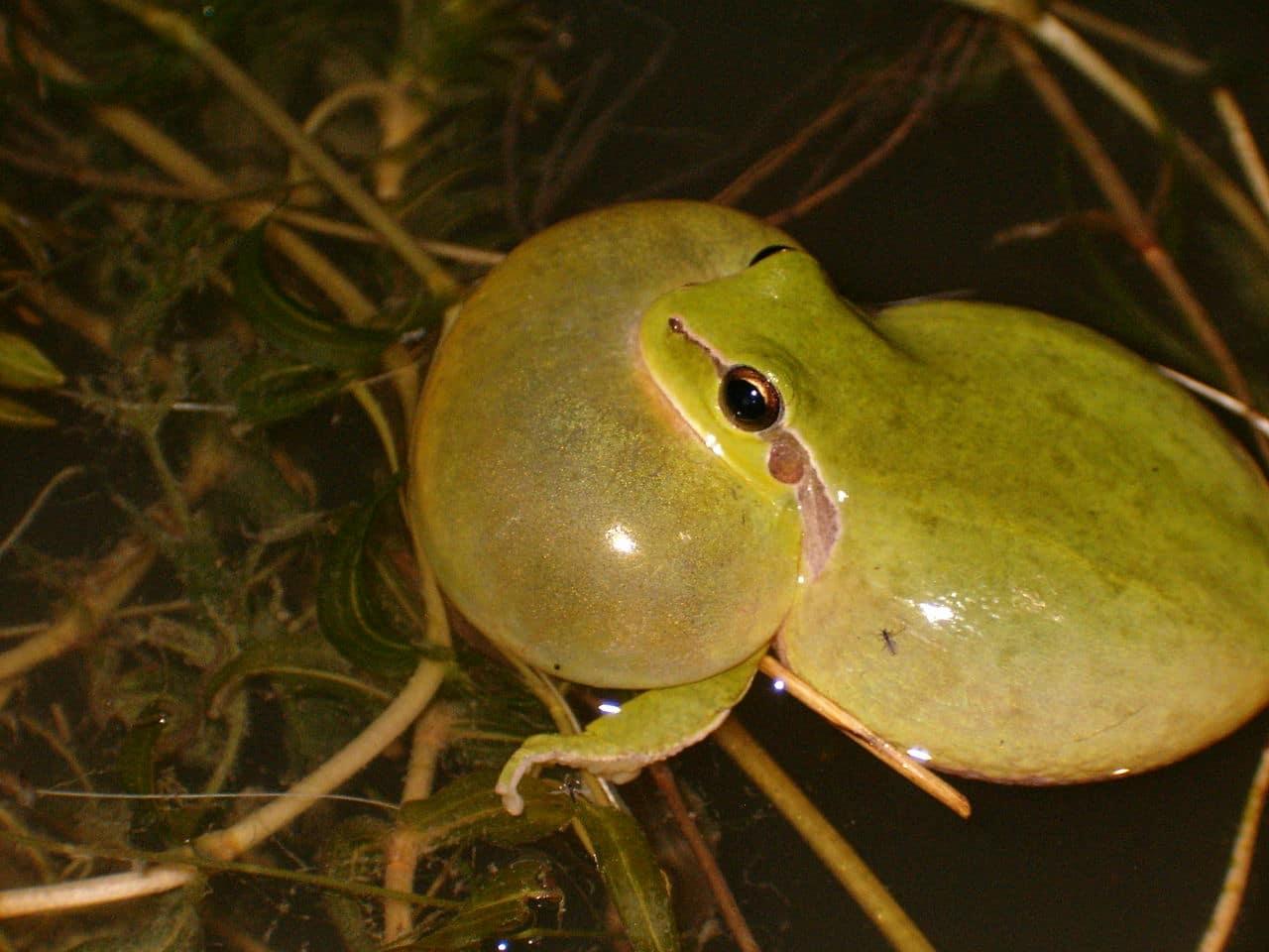 Cómo se reproduce la rana meridional