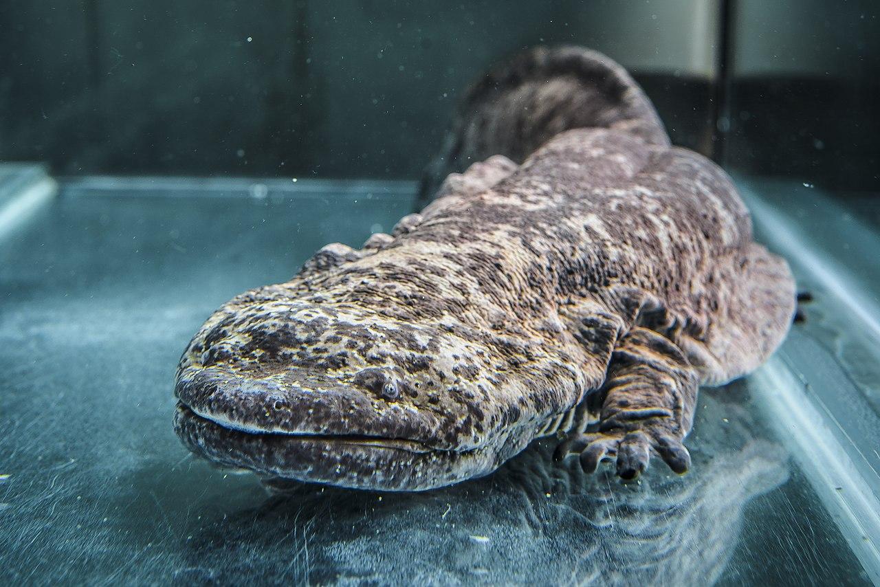 Cómo es la salamandra gigante china