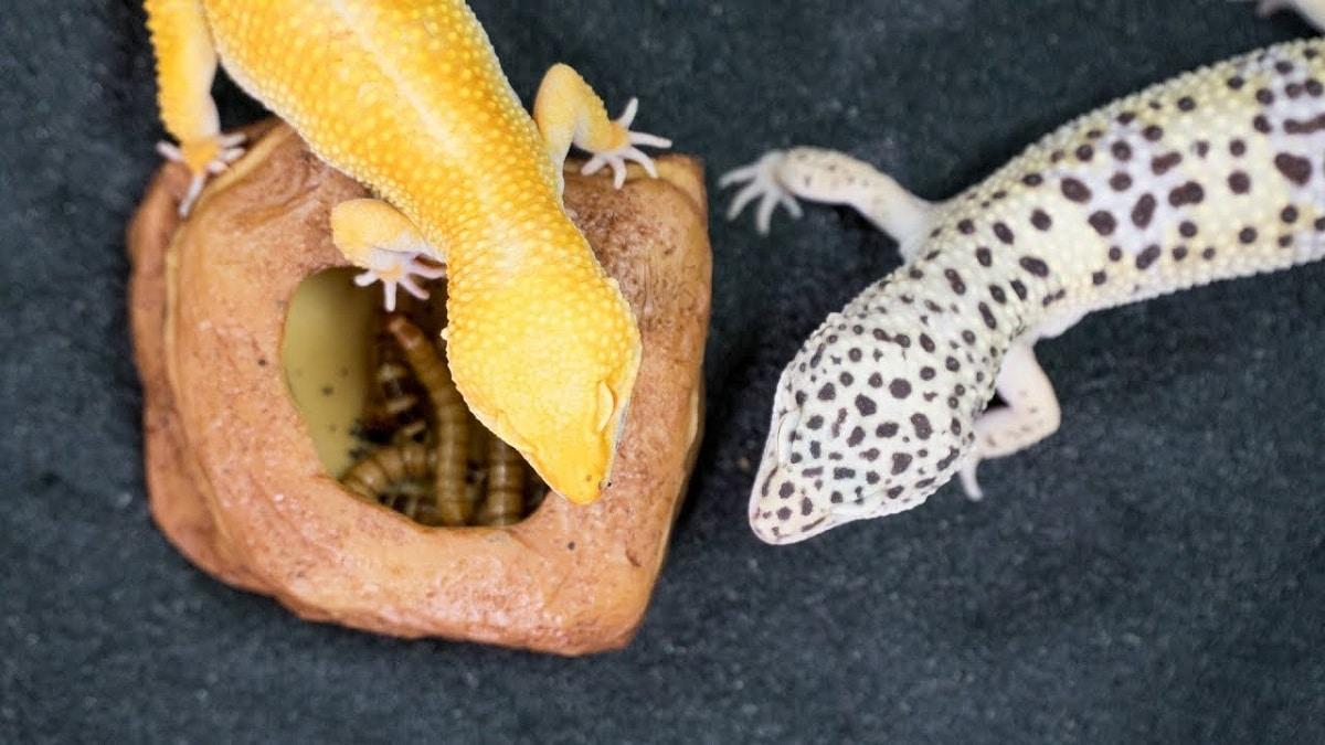 Alimentación de lagartos