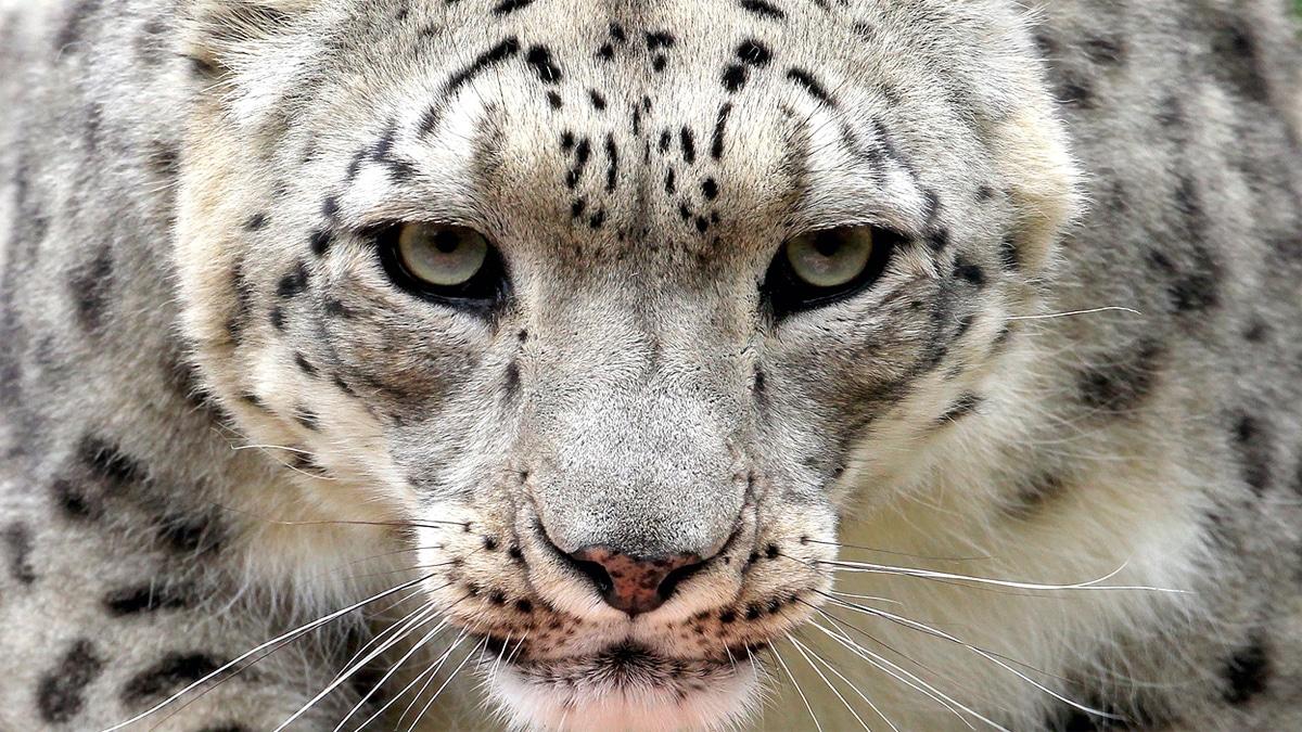 Amenazas del leopardo árabe