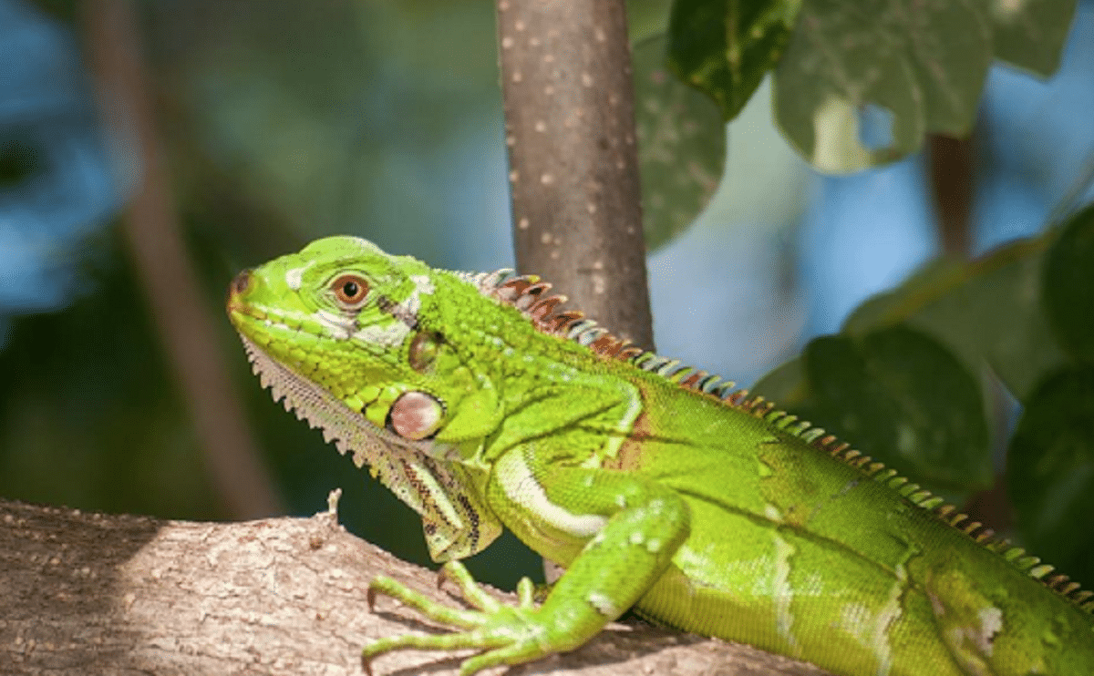 Reproducción de la iguana
