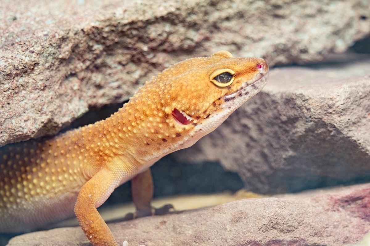 Características de los geckos