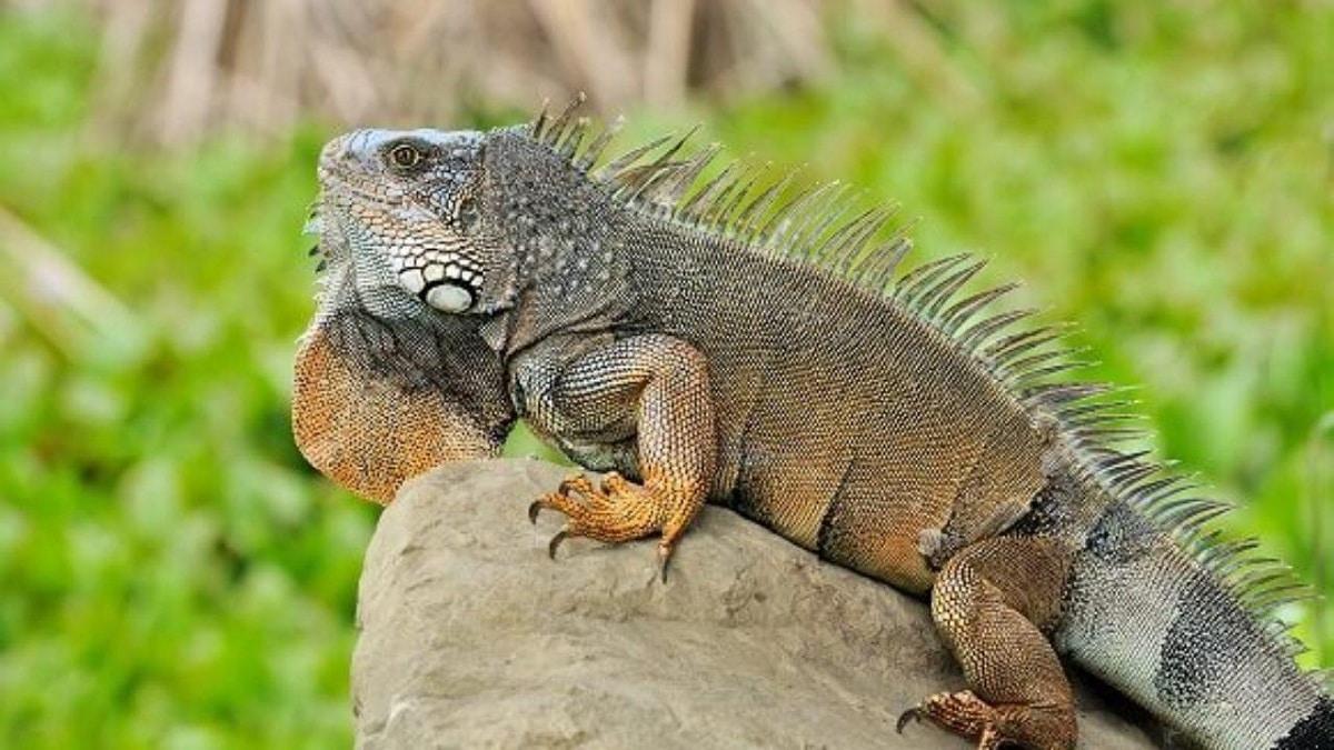 Hábitat y alimentación de la iguana