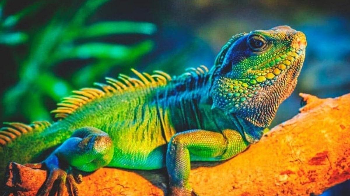Información sobre las iguanas