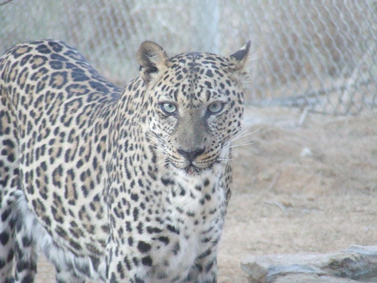 Leopardo de Arabia características