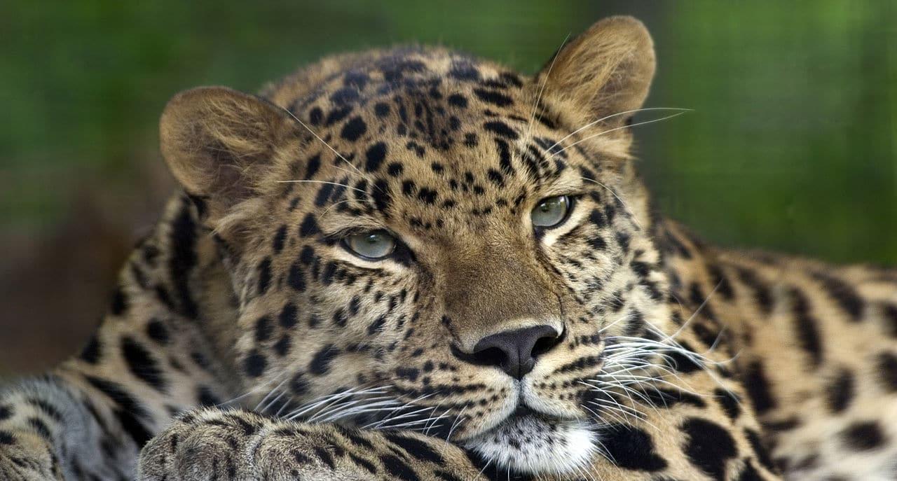 Cómo es el leopardo del amur