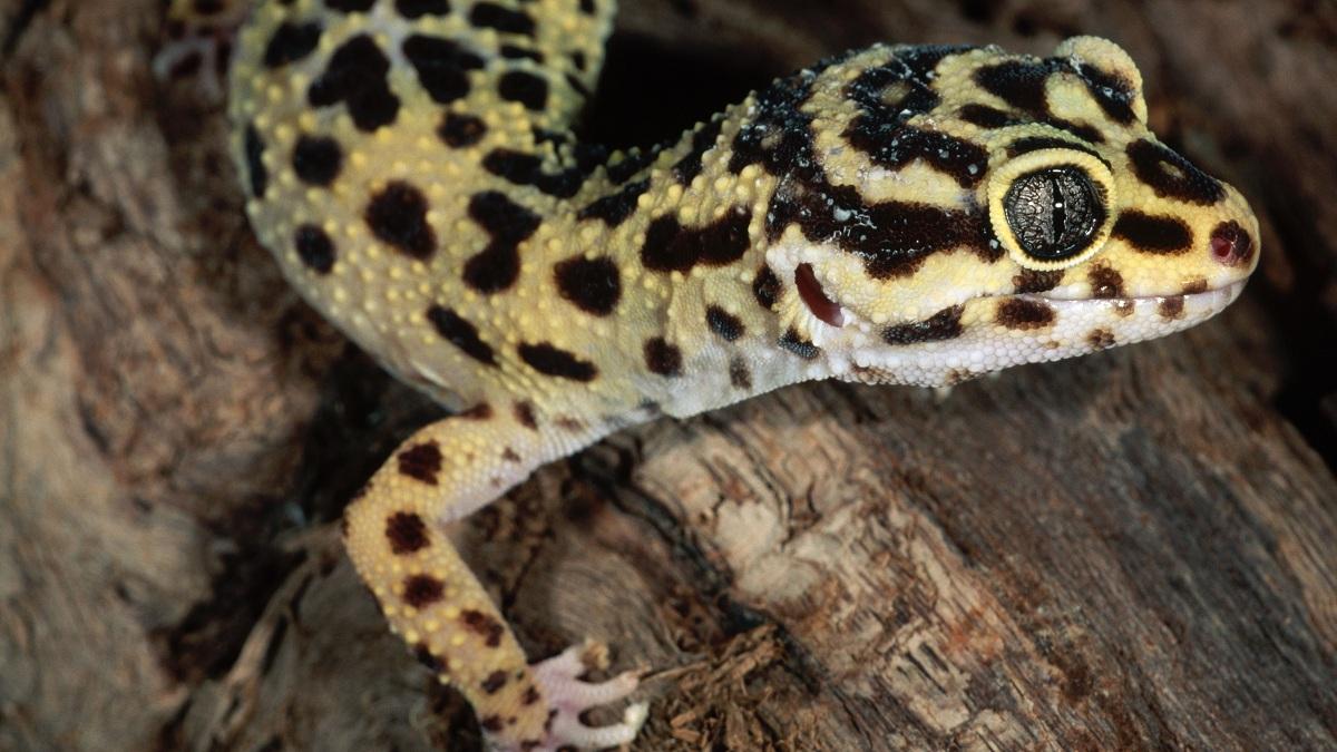Reproducción de gecko