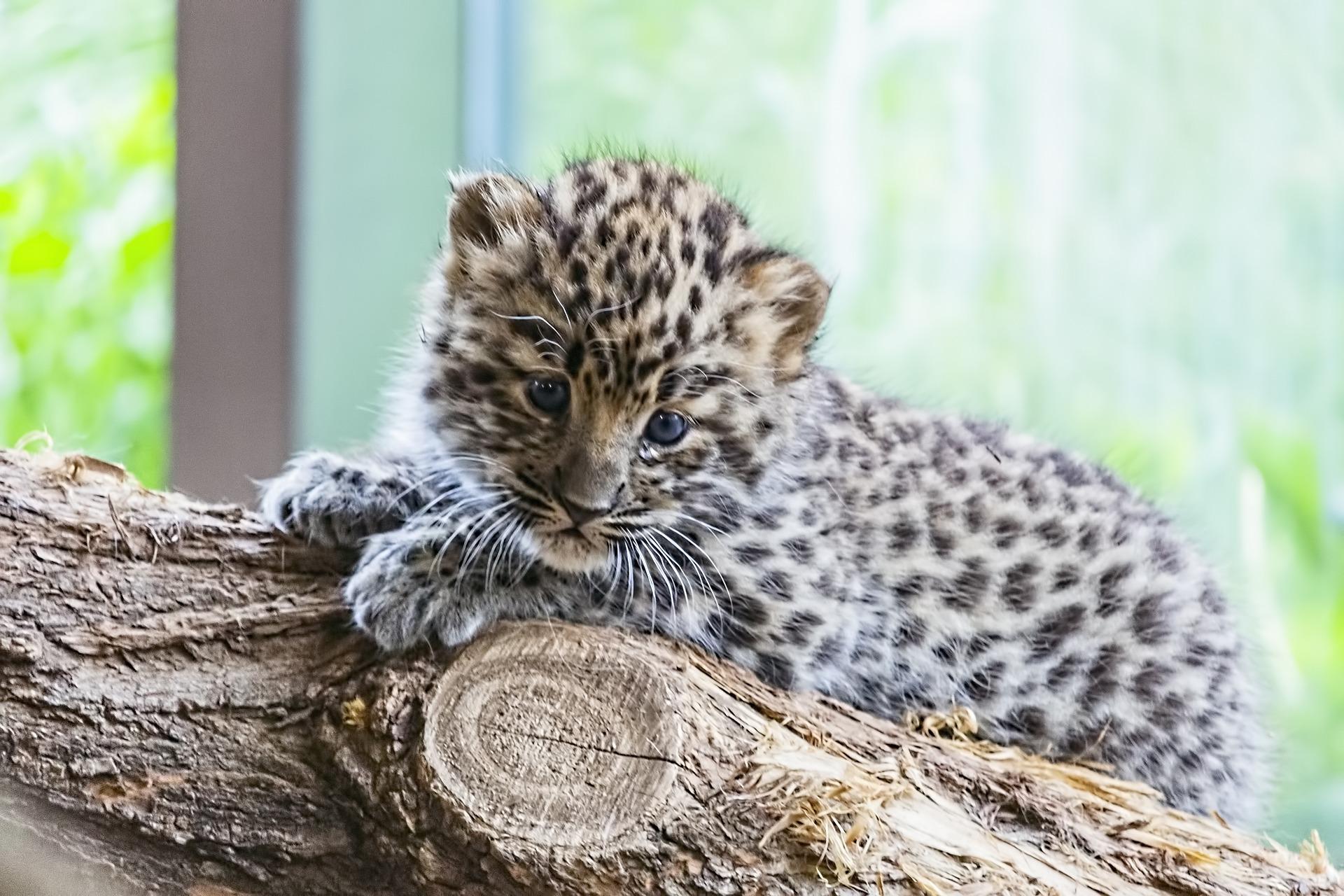 La reproducción del leopardo del amur