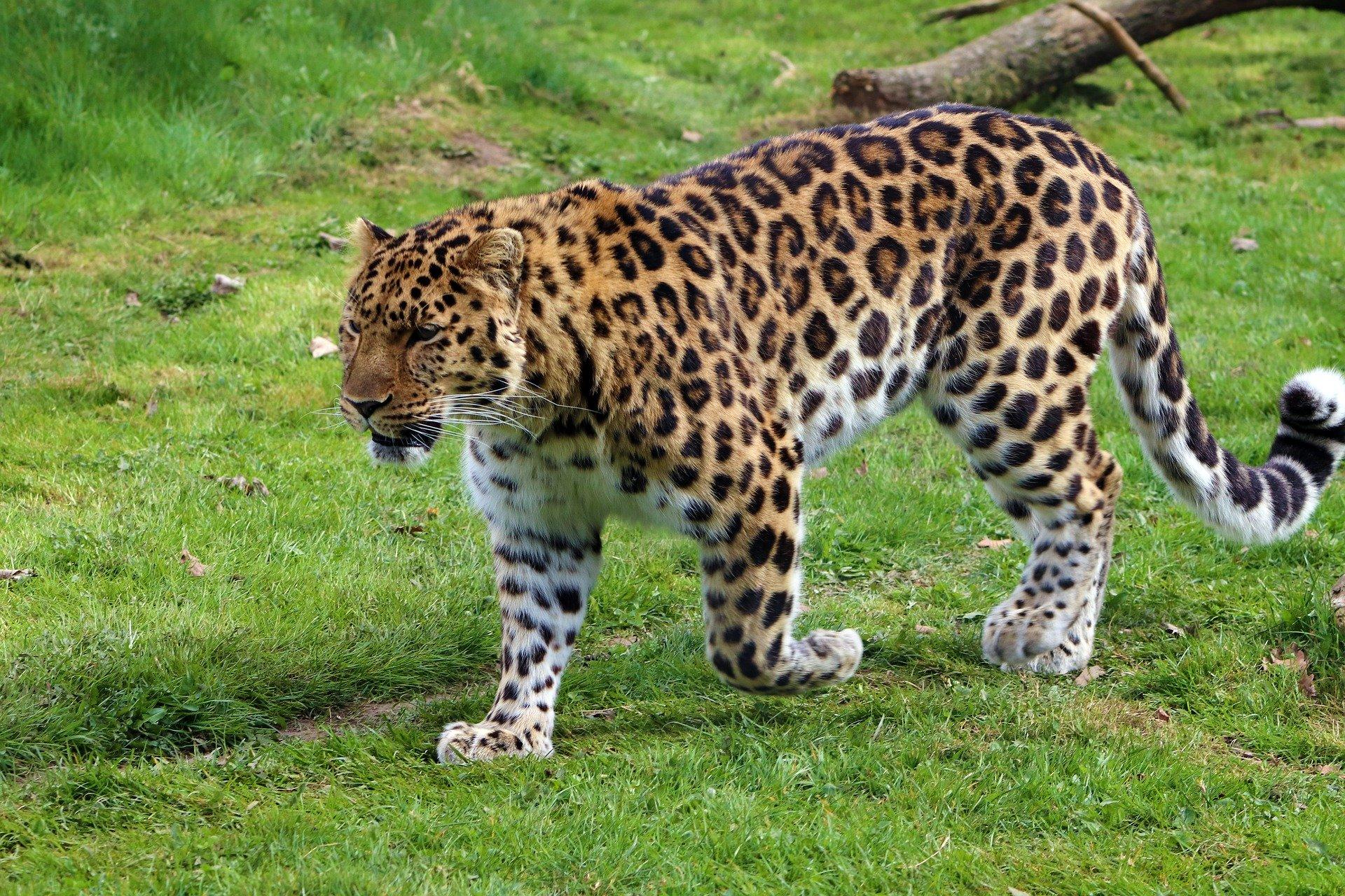 Hábitat del leopardo del Amur
