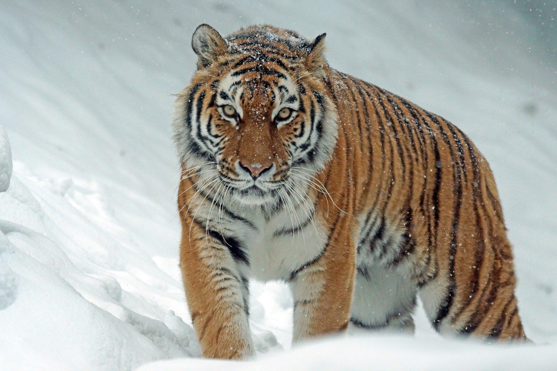 cómo es el tigre siberiano