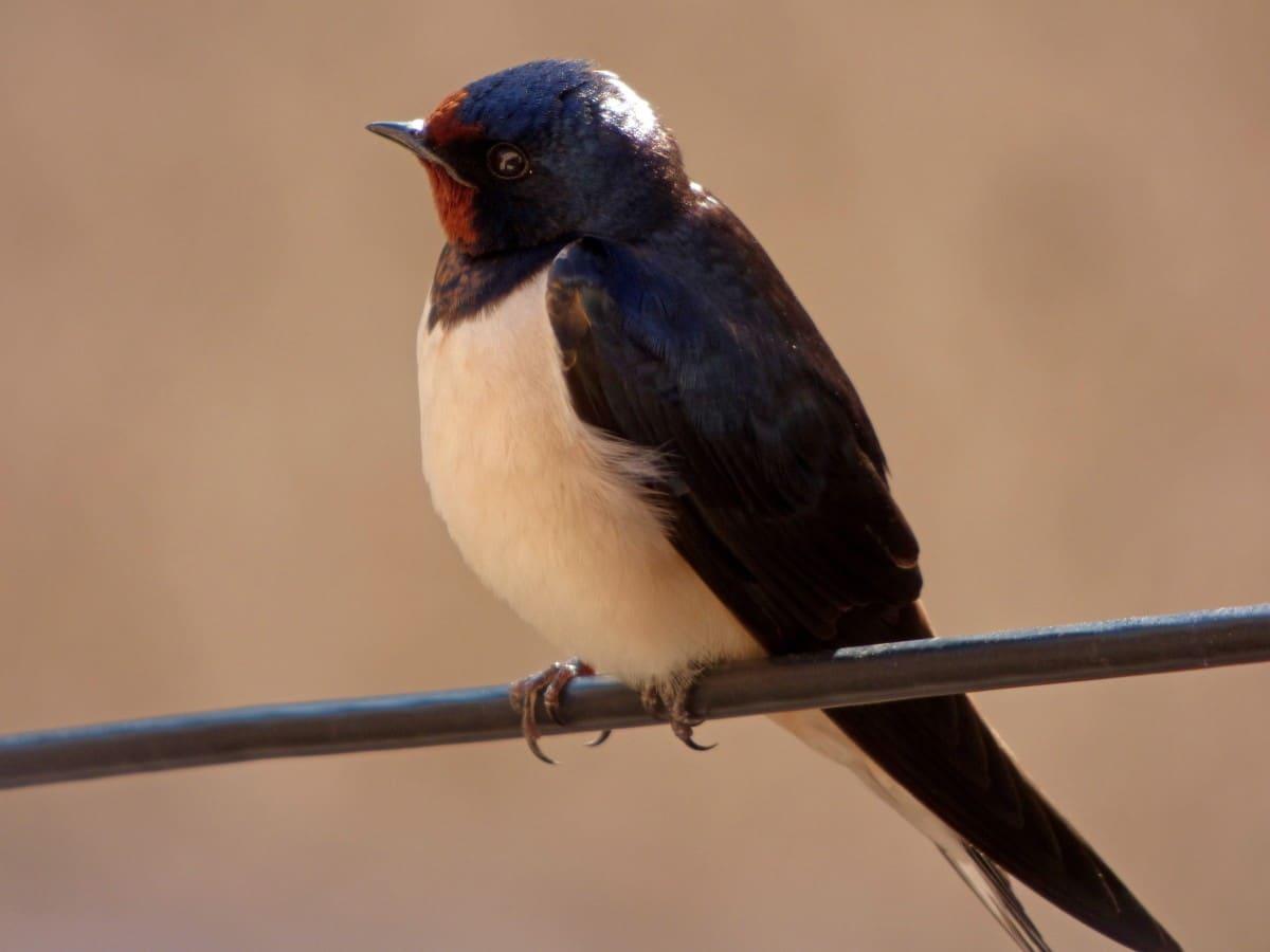 El canto de las andorinas puede ser muy diferente dependiendo si se están apareando o se encuentran amenazadas