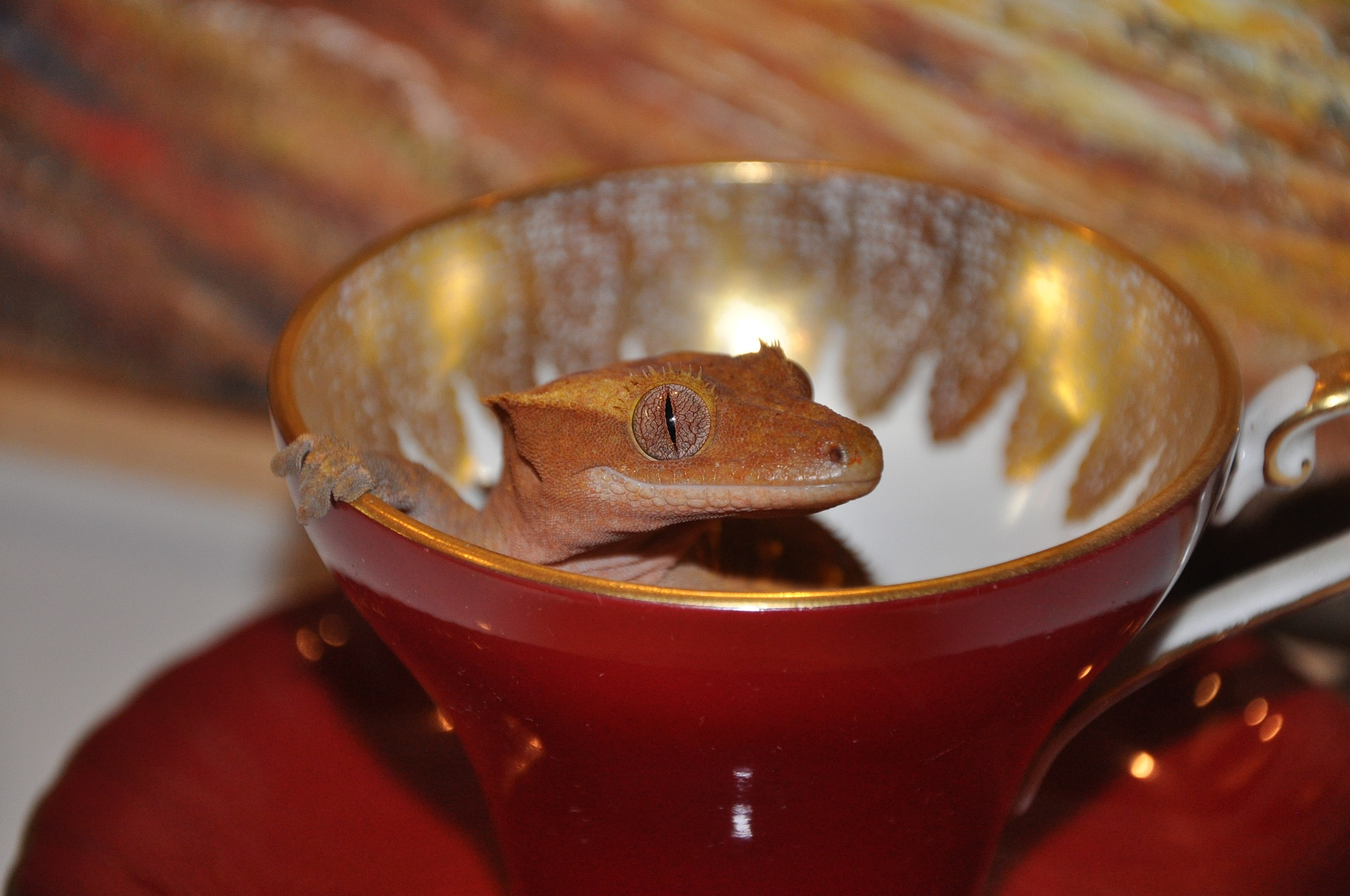 Qué come un gecko crestado