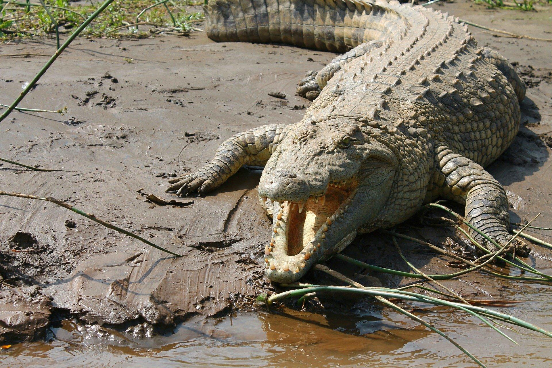 Curiosidades del cocodrilo del Nilo