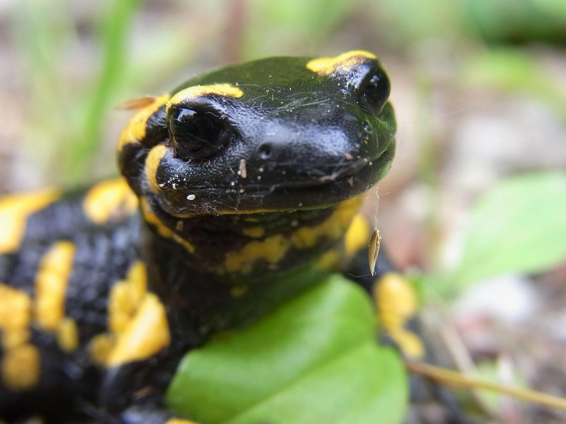 Características de la salamandra