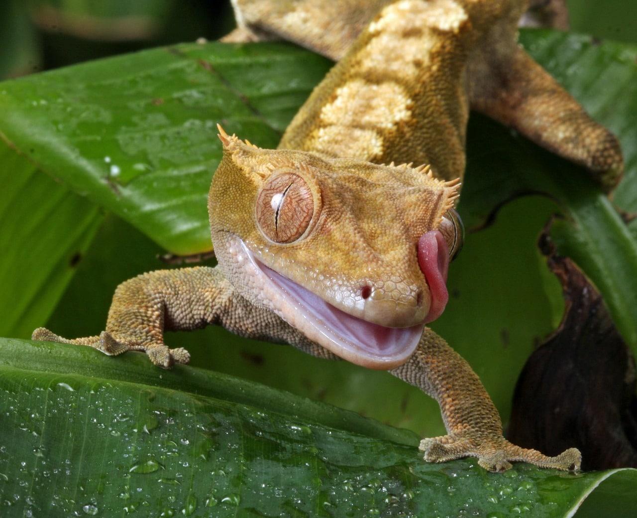 Cuidados de gecko crestado