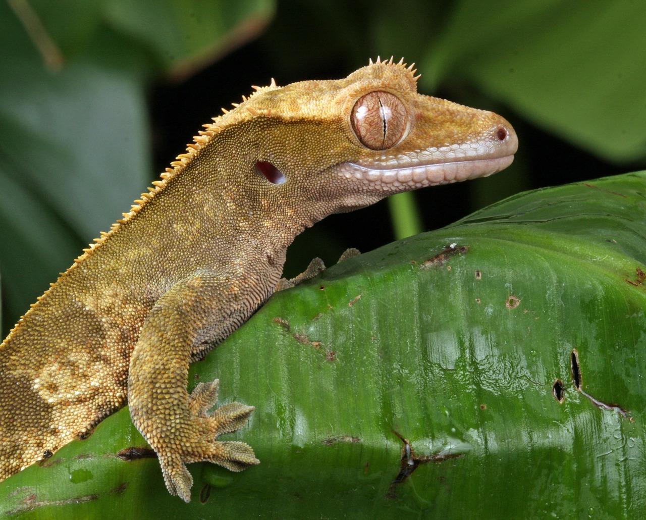 Gecko crestado: reproducción y crecimiento de las crías
