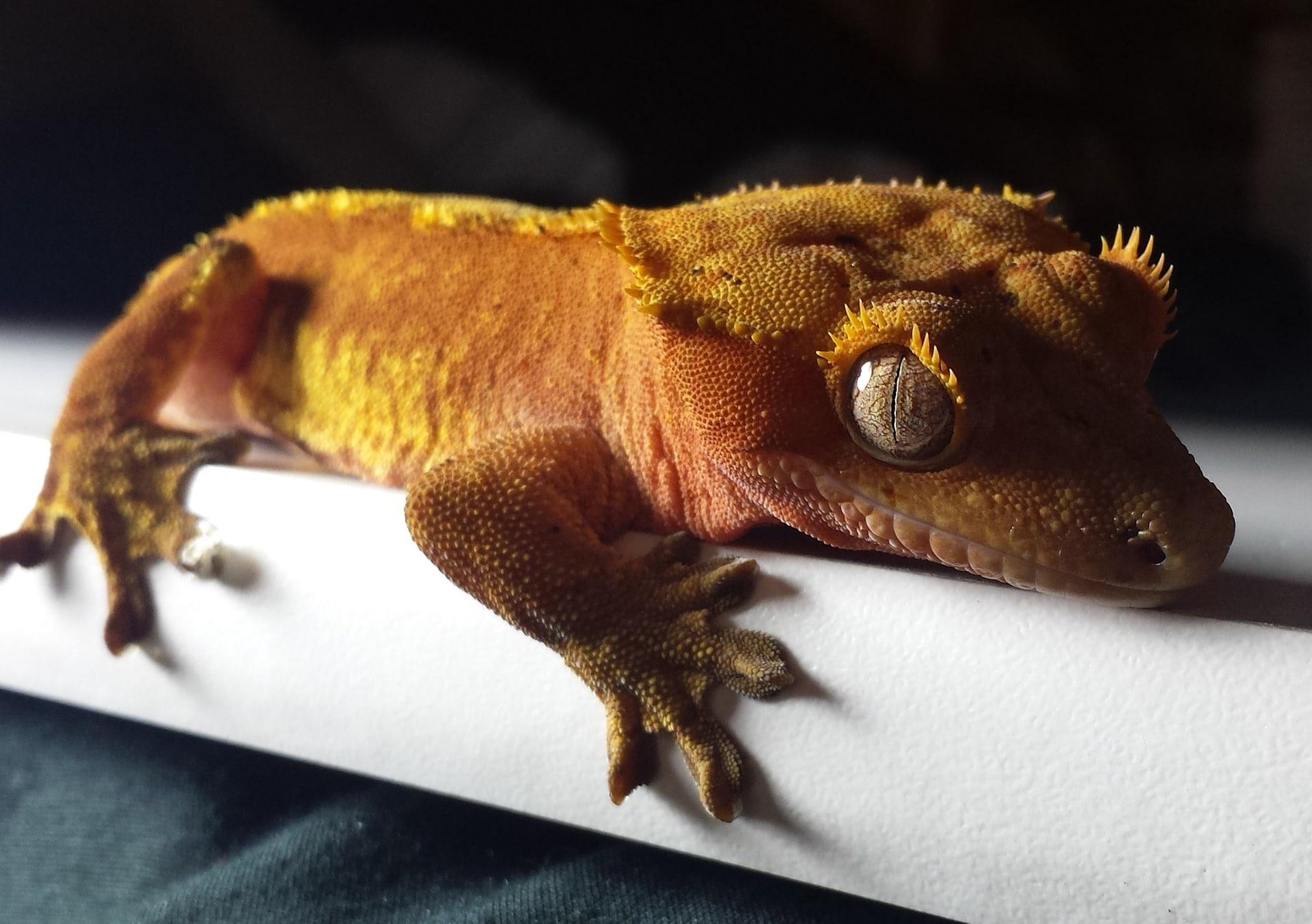cómo es el gecko crestado