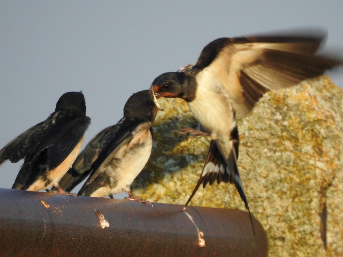 La mayoría de las golondrinas son insectívoras, cazando en pleno vuelo a sus presas