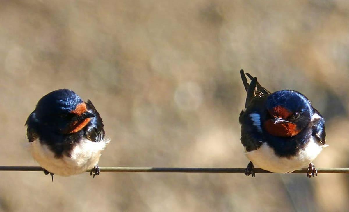 La llegada de las golondrinas se ha asociado siempre a la llegada de la primavera