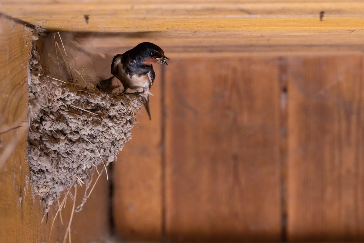 Los nidos de las golondrinas siempre se han relacionado con la prosperidad y augurios de cosas positivas