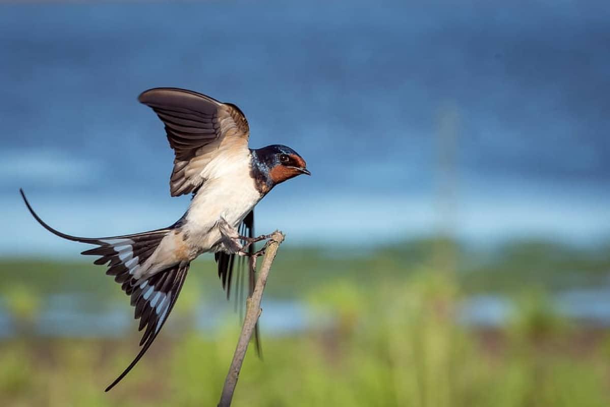 Las golondrinas avisan de la llegada de la primavera siendo una de las aves con un canto peculiar y agradable