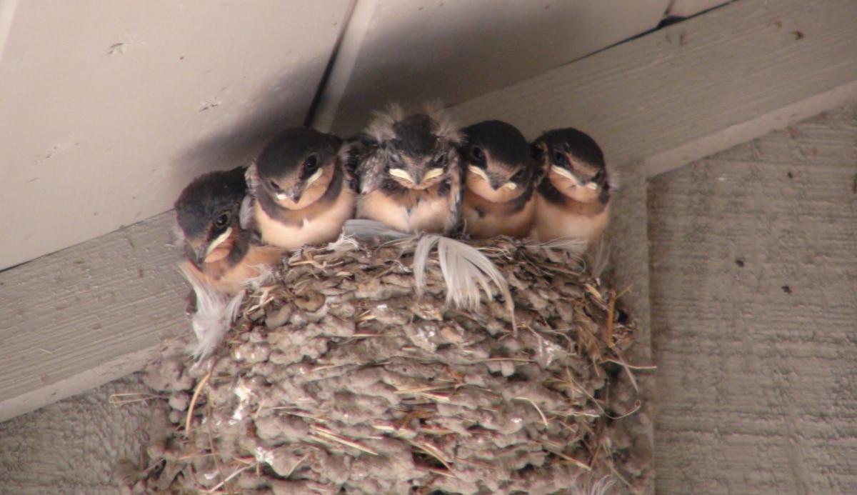 Las golondrinas suelen hacer los nidos cerca del ser humano en vistas que raramente se ven amenazadas por él