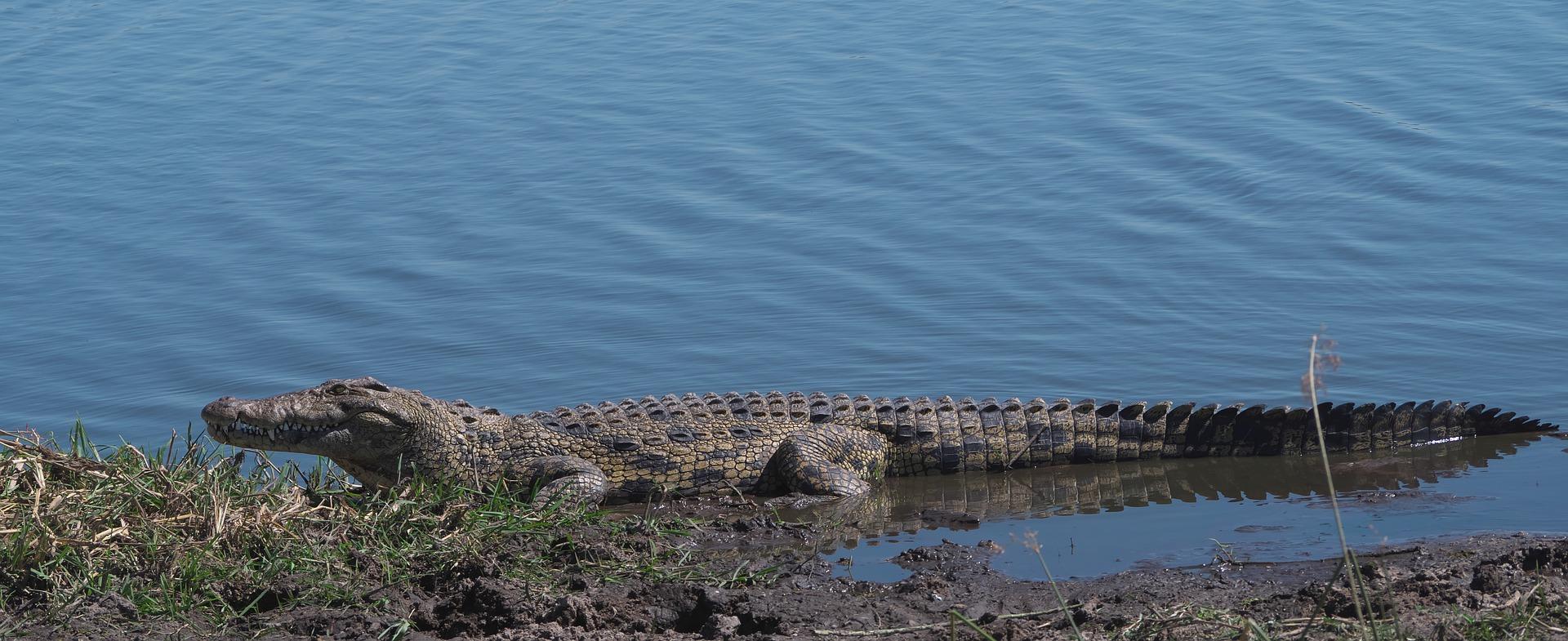 Reproducción del cocodrilo del Nilo