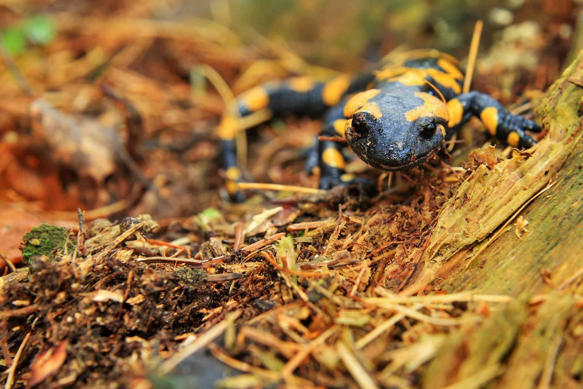 Curiosidades de la salamandra